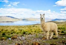 Alpaca featured image