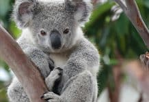 koala featured image