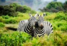 zebra featured image